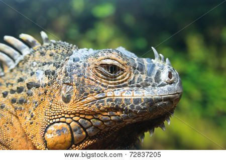 Green Iguana (iguana Iguana), Red Form