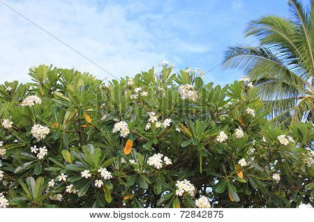 Plumeria Tree In Hawaii
