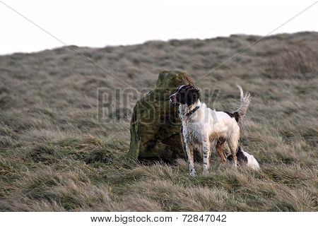 Springer Spaniel On The Moors