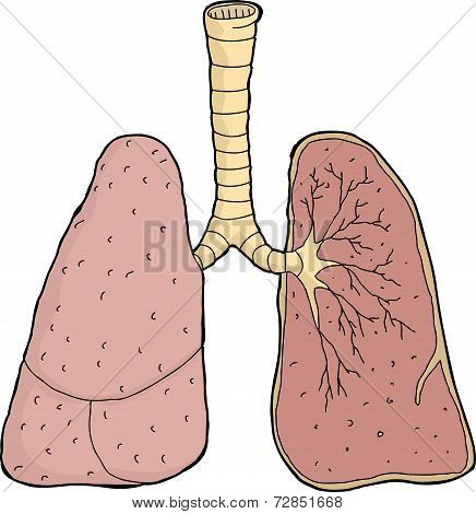 Lungs Cross Section