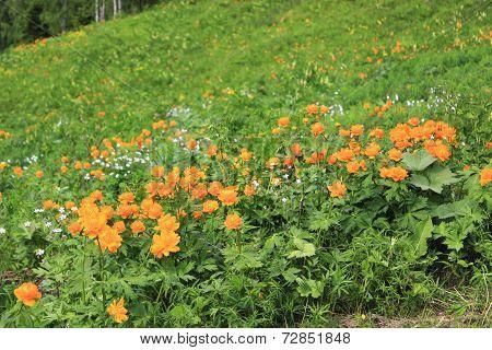 flower Trollius