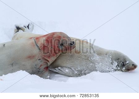 Male And Female Crabeater Seal During Courtship