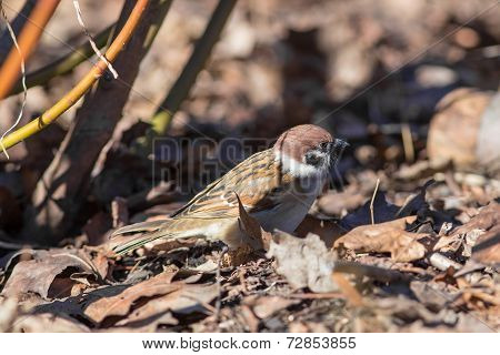 Sparrow On Fallen Autumn Leaves