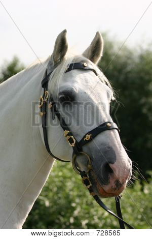 Dreamy Andalusian Horse