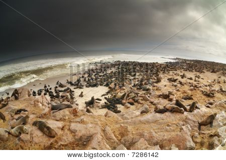 Colony Of Atlantic Seals