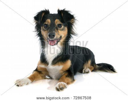 .mixed-breed Dog