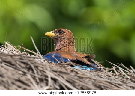 Broad Billed Roller (eurystomus Glaucurus) Sunning On A Thatched Roof