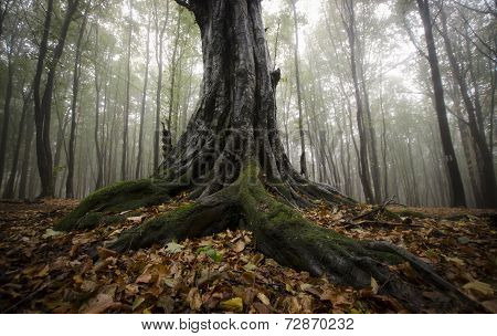 Old huge trees in a mysterious forest with fog