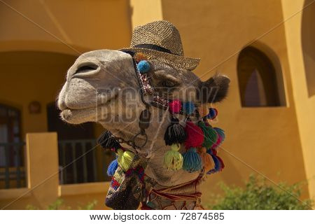 Egyptian Camel