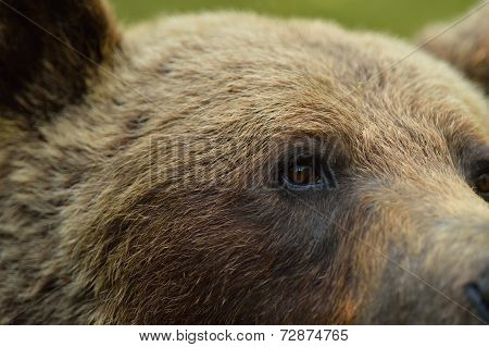 Brown Bear Eye