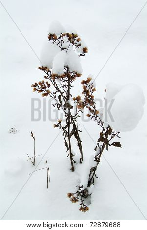 Withered plant in the snow