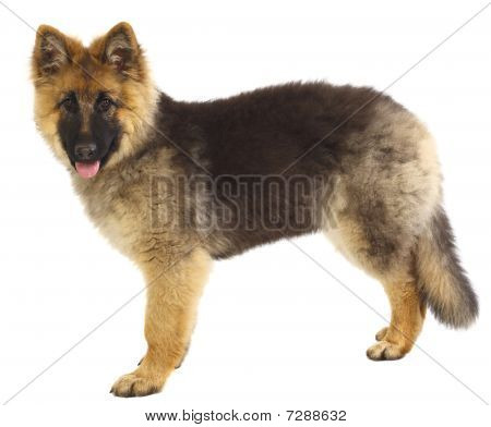 German Shepard Puppy On White