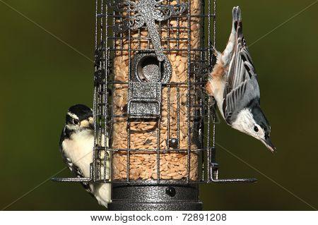 Pair Of Birds On A Feeder