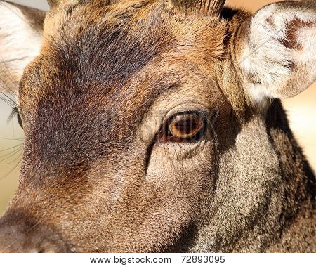 Closeup Of Fallow Deer Face