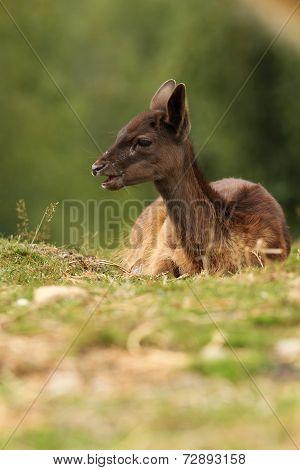 Dark Fallow Deer Calf