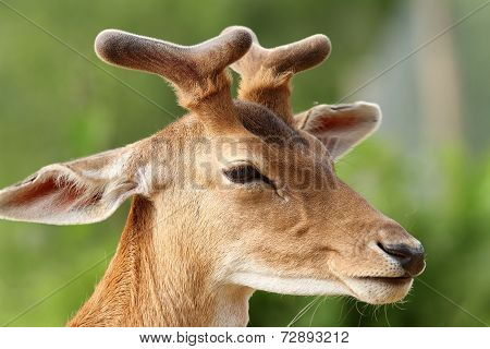 Deer With Growing Antlers