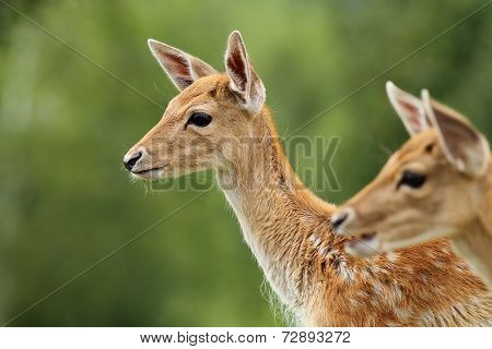 Fallow Deer Calf Over Green Background