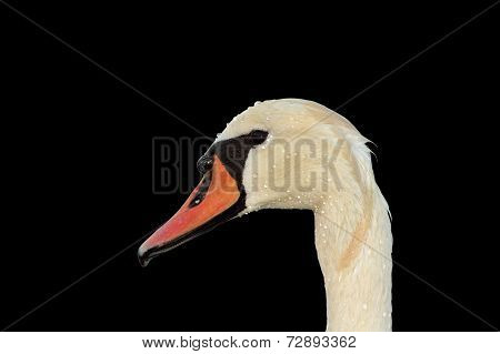 Isolated Mute Swan Portrait