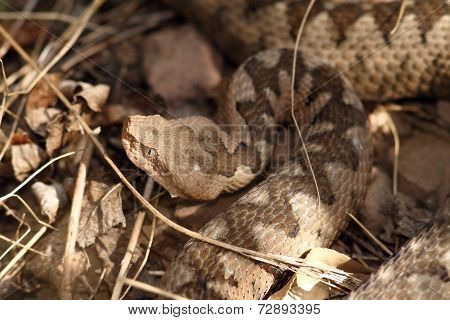 Large Head Of Vipera Ammodytes