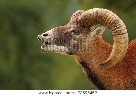 Mouflon Mating Ritual