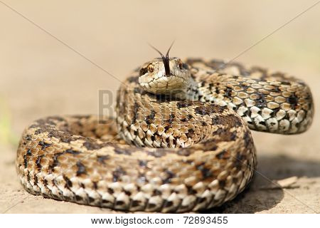 Meadow Viper Ready To Strike