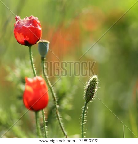 Wild Red Poppy Bud