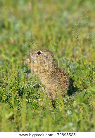 Ground squirrel (Spermophilus citellus)