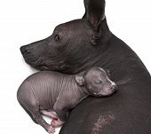 stock photo of puppies mother dog  - One week old xoloitzcuintle puppy with his mother - JPG
