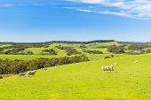 foto of spring lambs  - Sheep and lambs in the field at spring time under bright blue sky - JPG