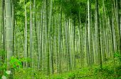picture of bamboo forest  - A grove of bamboo trees in China