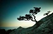 foto of crimea  - Tree and sea at sunset - JPG