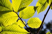 foto of linden-tree  - Linden Tree Leaves In Sunlight in summer - JPG