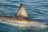 picture of great white shark  - Zig zag patterns on the fin of a great white shark Gansbaai South Africa - JPG