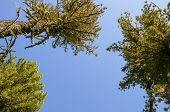 stock photo of siberia  - The original image of the Siberian cedars - JPG