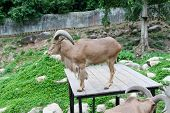 pic of billy goat  - The beautiful brown Goat in zoo Thailand - JPG