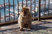 foto of gibraltar  - Gibraltar Monkeys or Barbary Macaques tourist attraction at the Monkey