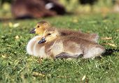 picture of f4  - These Canadian Geese goslings where photographed at Shoreline Park - JPG
