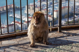 picture of gibraltar  - Gibraltar Monkeys or Barbary Macaques tourist attraction at the Monkey