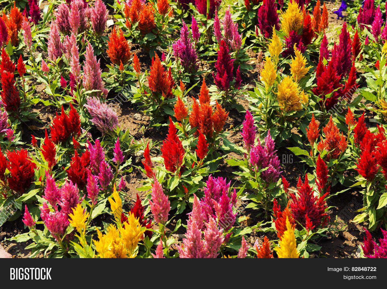 Садовые цветы гребешки фото