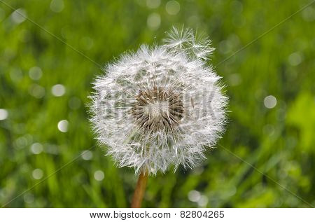 Sunny Day With Shiny Shaggy Dandelion In The Green