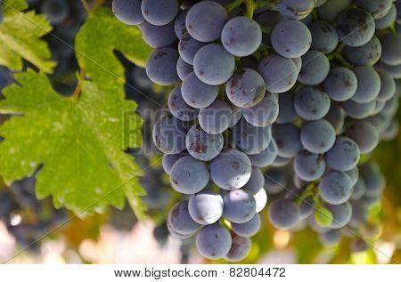 Growing Bio Grapes In The Northern Bulgaria