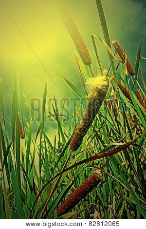 Cattails And Reeds In The Morning Light