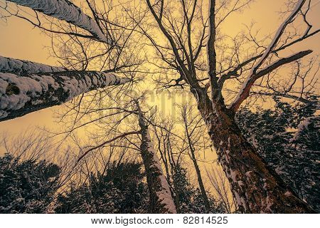 Snowy Tall Trees