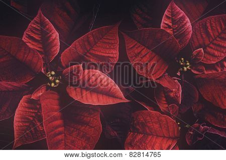 Retro Poinsettia Plant