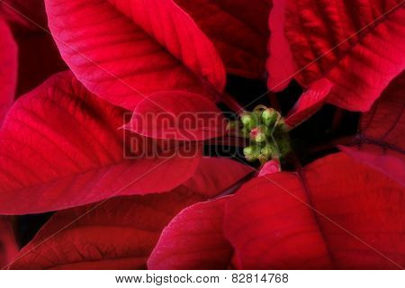 Poinsettia Close Up