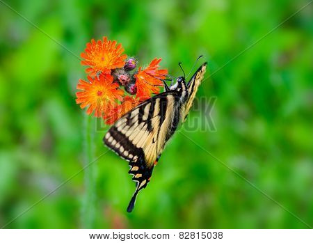 Eastern Tiger Swallowtail On A Hawkweed Flower
