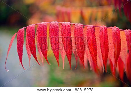 Close Up Of Red Sumac Leaves