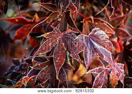 Frosted Japanese Maple Leaves