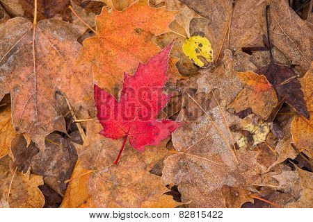 Lone Frosted Red Maple Leaf