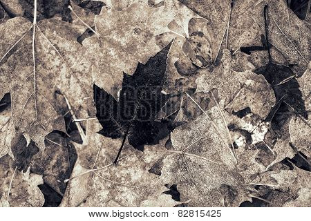 Lone Frosted Dark Maple Leaf - Black And White